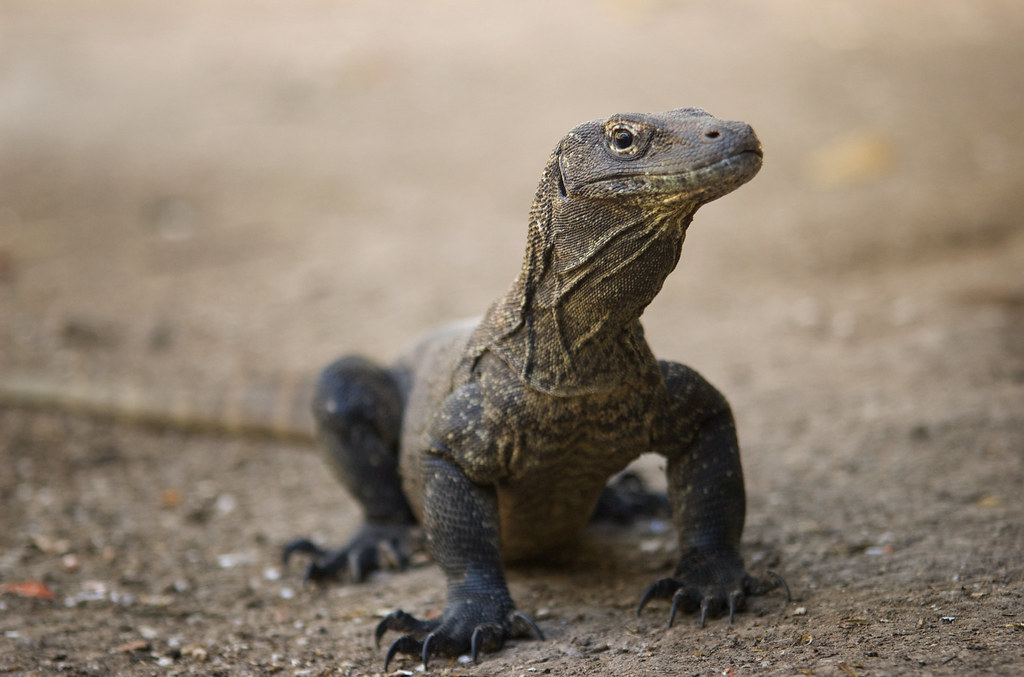 komodo dragon research paper Education: stories from the field komodo dragon research: an interview with dr tim jessop 1 what is your current research agenda in regards to komodo dragons.