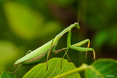 Mantis religiosa (Lutz Koch) Tags: macro nature closeup mantis insect hungary sony natur alpha makro insekt ungarn prayingmantis nahaufnahme zala   peygamberdevesi  gottesanbeterin mantisreligiosa  mantodea europeanmantis    elkaypics szentpterr  nex7