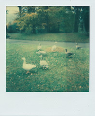Park Geese (Pictures from the Ghost Garden) Tags: film southwales wales square polaroid lofi parks plastic tip integral instant analogue 1000 plasticcamera impossible plasticlens instantfilm aberdare polaroid1000 impossibleproject