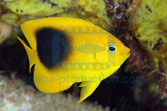 2008-09 HERBLAND MARTINIQUE ROCK BEAUTY HOLACANTHUS TRICOLOR 9720