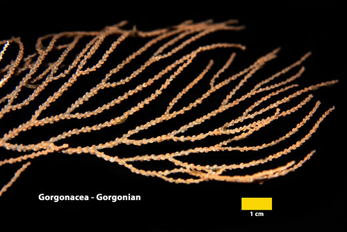 SG_Gorgonacea (GGW) Anthozoa_Ramon (2)