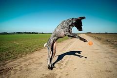 Pounce (MilkaWay) Tags: play exercise birddog tessa fields catch dirtroad tennisball fetch gsp countryroad germanshorthairedpointer 5yearsold bostwick morgancounty ruralgeorgia