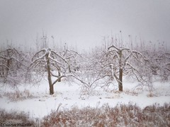 Apple Trees Laced with Snow (Diana Lynn2) Tags: trees winter snow storm ice apple seasons maine orchard apples storms icicles