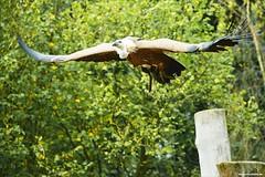Vulture (Vlachbild) Tags: bird animal germany europe vulture saarland borderfx wildparkfreisen sonyslta99 carlzeisssonnart135f18zasal135f18cz