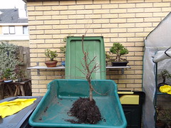 DSC06939 (jeremy_norbury) Tags: beds january bonsai growing patch repotting 2014