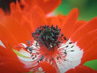 Fleur rouge ....Amarylis I think !!