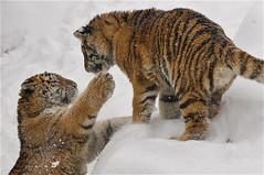 let's play (ucumari photography) Tags: columbus ohio snow zoo tiger january bigcat siberian amur 2013 specanimal specanimalphotooftheday ucumariphotography dsc0841