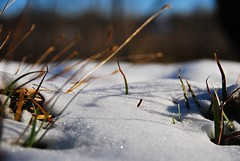 Snow dunes in the garden! (ineedathis, Keep on Ticking!) Tags: winter snow grass garden planter sisyrinchiumbellum snowdunes nikond80 blueeyegrass