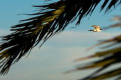 Volando entre palmas (Gonzak) Tags: bird uruguay fly nikon ave cielo pajaro montevideo palmera gettyimages golondrinas rambla vuelo d7100 gonzak useta