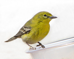 male Pine warbler checking me out