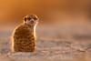 Early Morning Meerkat ([[BIOSPHERE]]) Tags: morning wild orange cute nature southafrica meerkat wildlife backlit kalahari goldenhour sigma120300mm28os wildplanetmagazine