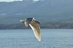 Shining Wing (Tynan Phillips) Tags: ocean sea seagulls canada bird beach nature birds animal animals flying wings bc britishcolumbia seagull gull gulls flight feathers denmanisland larus glaucouswingedgull larusglaucescens glaucescens baynessound