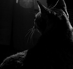 (renatoghio) Tags: blackandwhite silhouette cat highcontrast enzo