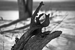 2014: 075/365 (runningman1958) Tags: wood winter blackandwhite bw tree nature nikon deadtree 365 lumber 365dayproject d3100 nikond3100 d3100nikon dinosaurheadshape