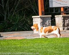 Bassethound-March-2014_DSC87890004.jpg (orig_lowolf) Tags: usa dog bird oregon nikon lakeoswego georgerogerspark d300s sigmaaf150500mmf563apodgoshsm