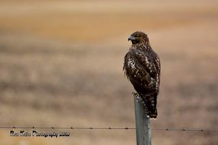 Red-tailed Hawk DSC_5444