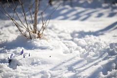 E lo sapevamo, noi crocus, che una rondine non fa primavera! (fratella) Tags: crocus neve nevemarzolina
