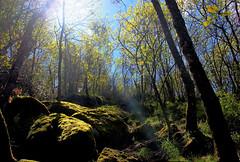 HAZ DE LUZ (Susana M.L.) Tags: light naturaleza verde bosque hazdeluz canoneos550d
