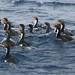 World's Rarest Shag Species Endemic Bounty Island Shag Subantarctic New Zealand
