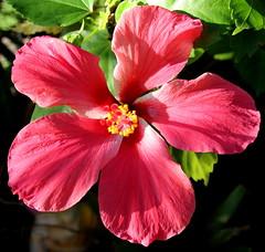 hibiscusflower