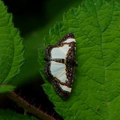 Common Spring Moth (Dendroica cerulea) Tags: insect newjersey spring moth nj lepidoptera geometridae ennominae highlandpark arthropoda invertebrate arthropod insecta hexapoda fav10 middlesexcounty commonspringmoth heliomatacycladata heliomata geometroidea macariini highlandparkmeadows