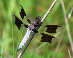 (Trish Overton) Tags: dragonflies dragonfly in evansvillein