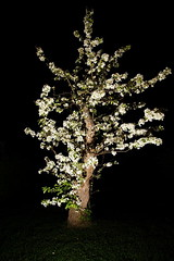 One tree, one speedlight (Fredrik Naess) Tags: flowers white tree lowkey speedlight onelight tamron2875 sonya99 hvlf60m