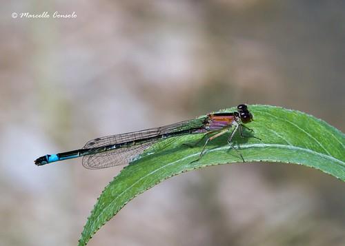 Ischnura elegans (Vander Linden, 1820) ♀ forma rufescens tipo C