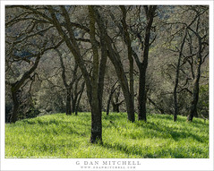 Oaks, Spring (G Dan Mitchell) Tags: calero county park santaclara grass oak trees spring season nature landscape california northern usa america green