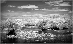 infrared everglades 8 (GR167) Tags: bw ir canon lifepixel infrared blakandwhite everglades monchrome