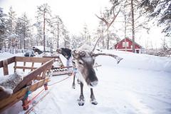 IMG_2639 (F@bione©) Tags: lapponia lapland marzo 2017 husky aurora boreale northenlight circolo polare artico rovagnemi finalndia finland