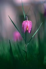L'élégante. (jpto_55) Tags: fritillairepintade fleur proxi bokeh xe1 fuji fujifilm omlens om135mmf28 hautegaronne france