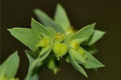 Kleine Wolfsmilch - Euphorbia exigua, NGIDn838868434 (naturgucker.de) Tags: ngidn838868434 naturguckerde kleinewolfsmilch euphorbiaexigua 915119198 964235129 1221648697 chorstschlüter