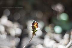 春の訪れ / 額紫陽花の若葉 (Zunten) Tags: gakuajisai 額紫陽花 leaf leaves 葉 sony α7r ilce7r carl zeiss planar 1485 t mmg planar1485 cy closeupring