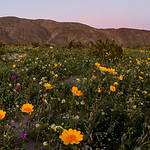 2017 Anza-Borrego Wildflowers Just After Sunset thumbnail