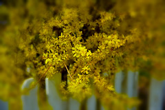 FIRST SIGN ... (Aspenbreeze) Tags: spring forsthyia flowers bush yellowflowers nature picketfence fence grandjunctioncolorado grandjunction colorado rural outdoors bevzuerlein aspenbreeze moonandbackphotography