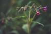 Tiny flower (Chloé +++) Tags: flower pulmonaria longgifolia pulmonaire feuilles leaf pink purple green nature natur field focus proxi macro canon eos 400d walking flowers light winter new