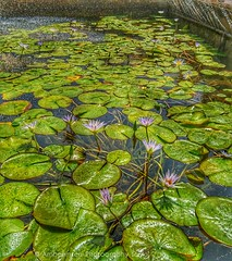 Lotus flowers at the Cairo Museum Egypt (Amberinsea Photography) Tags: lotusflowers lotus flowers fountain water cairomuseum egyptianmuseum cairo kairo caire egypt egypten myart amberinseaphotography