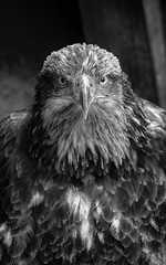 Want to face him ? (HDRvision) Tags: blackandwhite eagle noiretblanc hdr aigle
