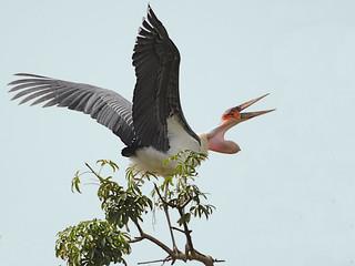 Marabou Stork / Marabu