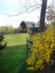 Forsythia (Larry the Biker) Tags: barn rural spring michigan farm farming ag forsythia agriculture vernal brucetownship