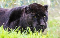 Wildlife Heritage Foundation - May 2013 (patrick-walker) Tags: black cat canon eos patrick spots walker bigcat 7d jaguar canon100400 100400 specanimal wildlifeheritagefoundation whf anawesomeshot canon7d flickrbigcats