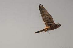 Kestrel (Sanjib Behera) Tags: wild bird nikon sigma kolkata kestrel westbengal