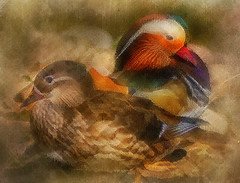 mandarin ducks (Palmsgb) Tags: photoshop mandarinduck