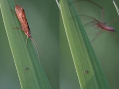 The Spider Missed (steb1) Tags: macro insect arachnid caddis caddisfly longjawedspider trichoptera tetragnathaextensa