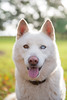 Salt (Gertrude139) Tags: dog white happy husky siberianhusky sibe bieyed