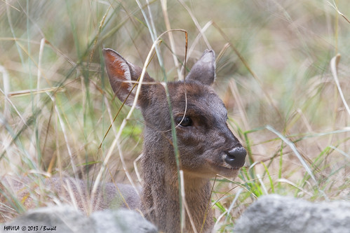 Veado-mateiro (Mazama americana)  -  Red Brocket