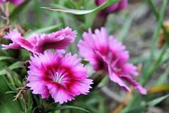 2013 Wildflower (DrLensCap) Tags: wild lake flower robert wisconsin forest state kettle pike wildflower wi kramer hartford moraine unit mygearandme