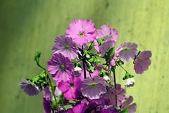 429 - German Primrose (ArvinderSP) Tags: flowers nature spring nikon purple explore 429 arvinder primulaobconica germanprimrose poisonprimrose arvindersp arvinderspcom