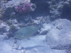 Bluespine unicornfish (the_crow_19_78) Tags: redsea marsaalam marrosso bluespineunicornfish pesceunicorno